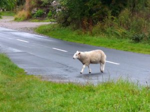Why did the sheep cross the road? Photo Courtesy of Sue Vincent @DailyEcho