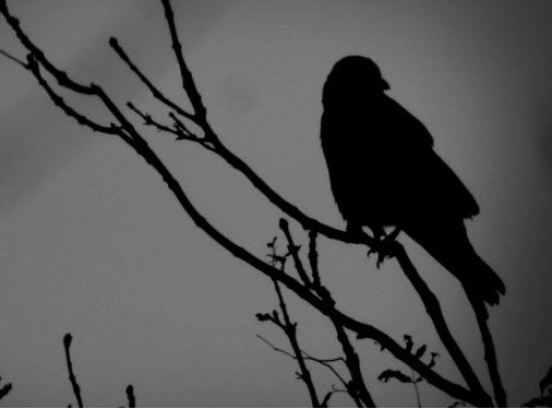 crow image by sue vincent