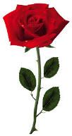 Rose open